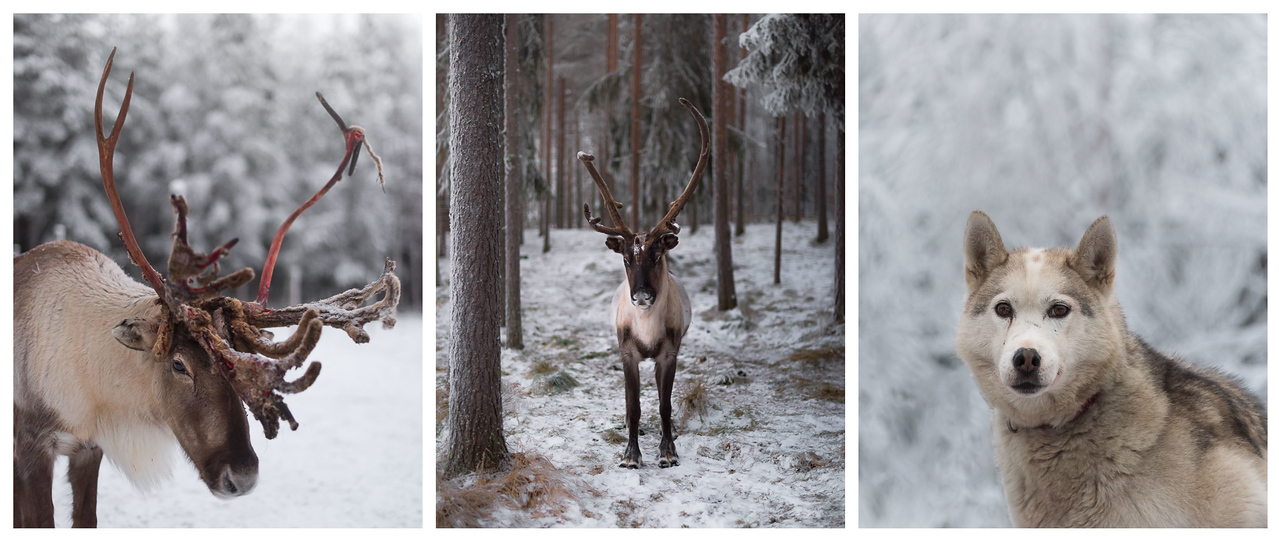 A triptych of Finnish Arctic animals: two reindeer and a husky.