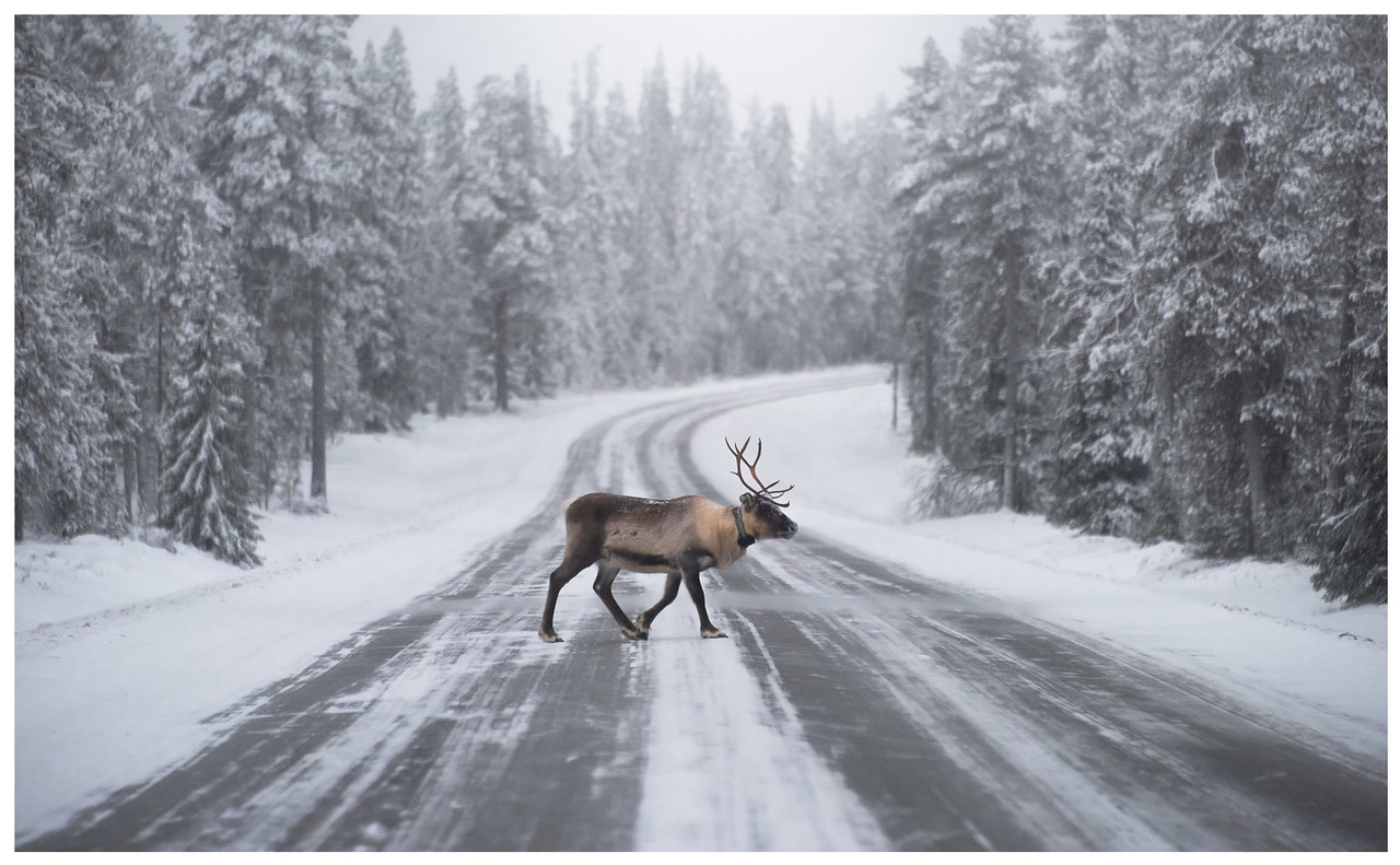A lone reindeer crosses a snowy, tree-lined Arctic road in Finland.